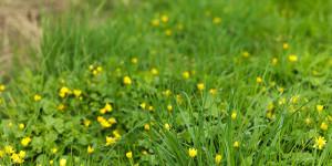 En vackert grön gräsmatta med gula små blommor bland grässtråna