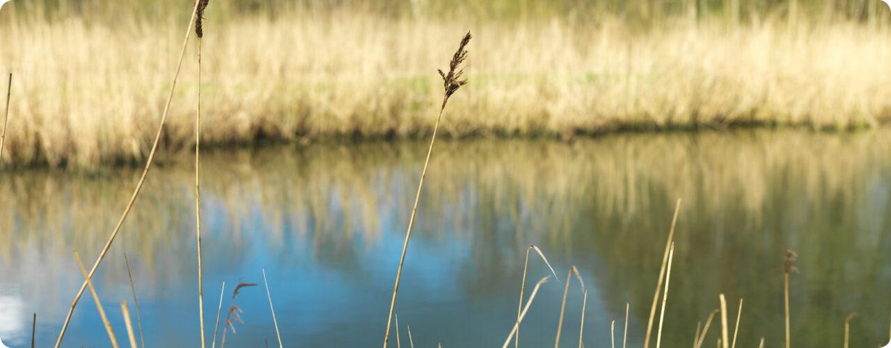 Strån av vass i förgrunden med en sjö