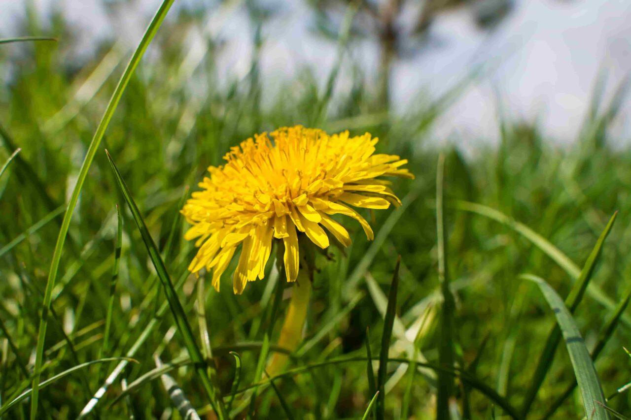 En blommande maskros i grönt gräs
