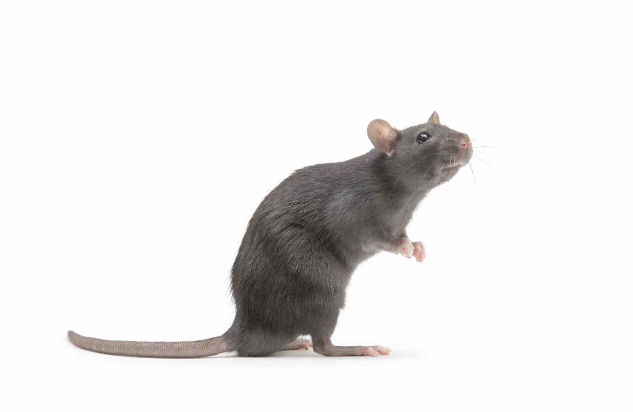En råtta stående på bakbenen mot en vit bakgrund