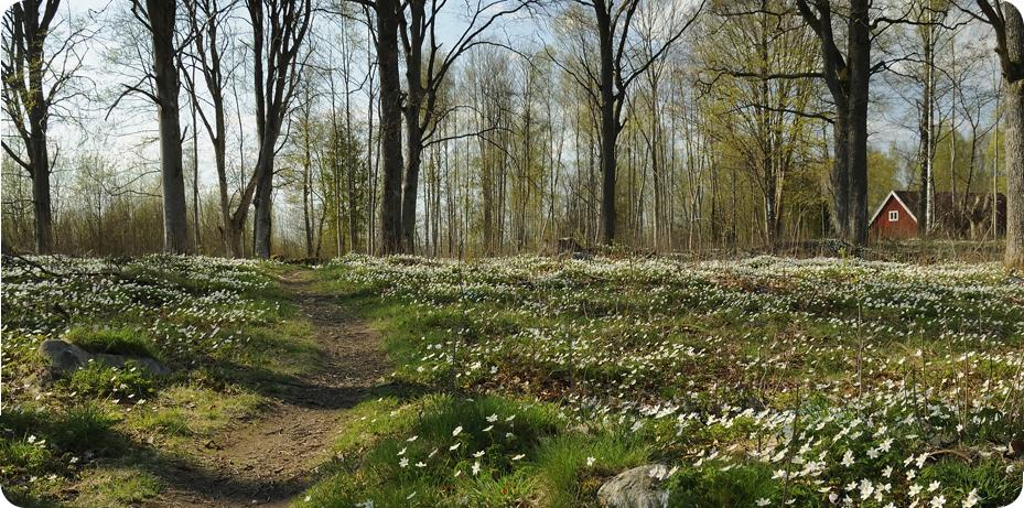 En stig går igenom en skog. Marken är full av blommande vitsippor.